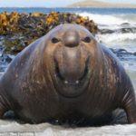 Как разводить морских слонов