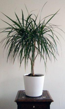 Драцена: идеальное комнатное растение