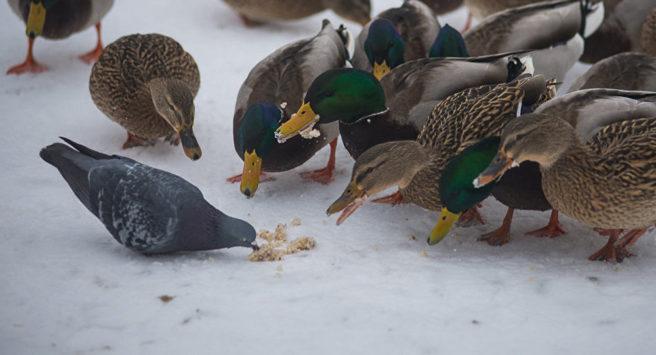 Чим годувати міських качок