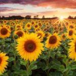 Где купить и как подобрать семена подсолнечника в Украине?