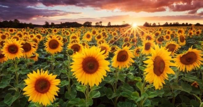 Где купить и как подобрать семена подсолнечника в Украине
